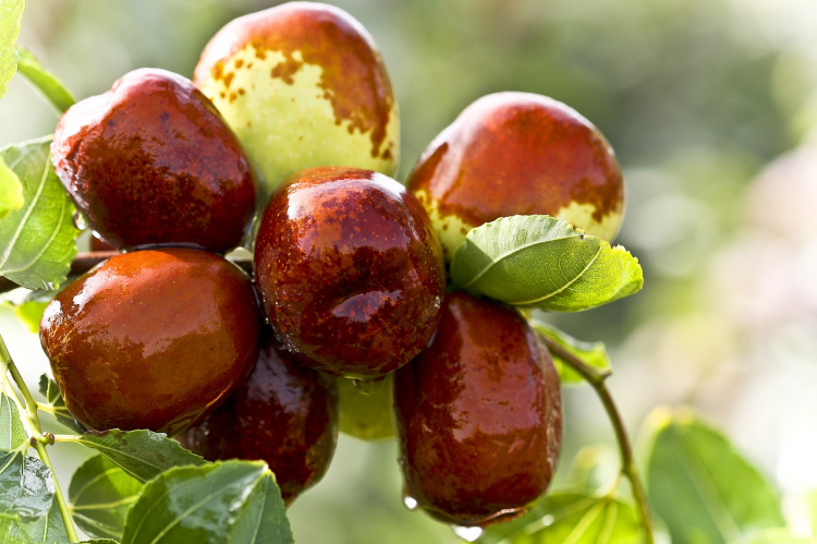 In a branch of jujube tree, it bears many fruits.